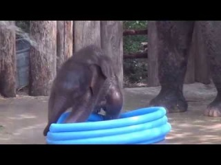 Fort Worth Zoo's Baby Elephant Plays in Pool