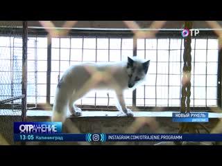 Владелица приюта для животных в Дербенте собирает средства для спасённых песцов