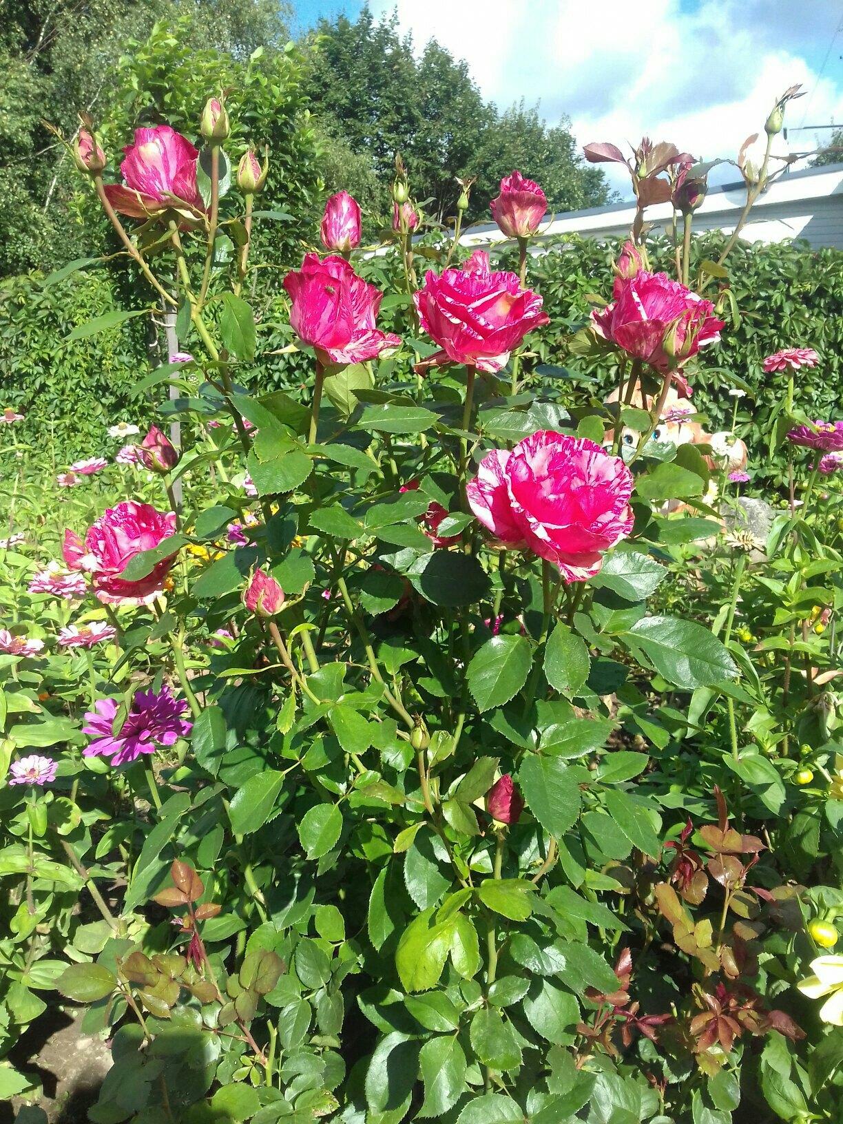 Вот такие цветочки в саду у нашей подписчицы Ларисы Кислюк