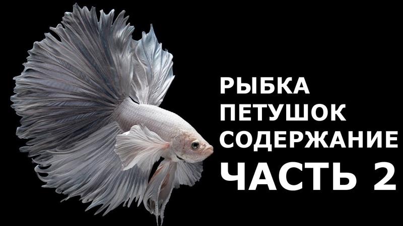 Рыбка СИАМСКИЙ ПЕТУШОК содержание и разведение - это должен знать каждый, кто завел петушка! ЧАСТЬ 2