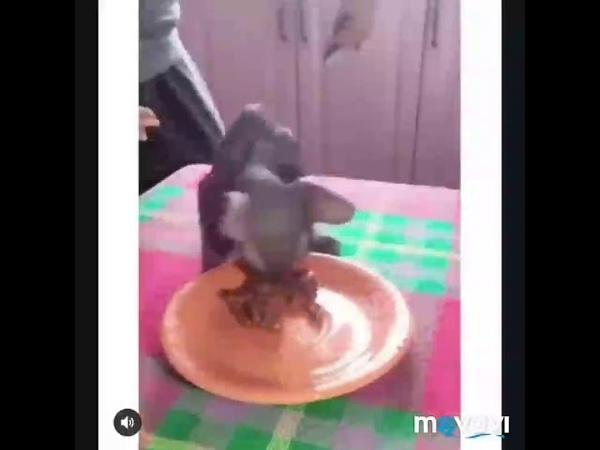 кот Толя лезит на стол чтобы покушац тортика l приколы с котом Толя