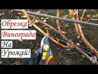 При такой Обрезке винограда Вы всегда будете с Урожаем! Обрезка винограда для Начинающих!