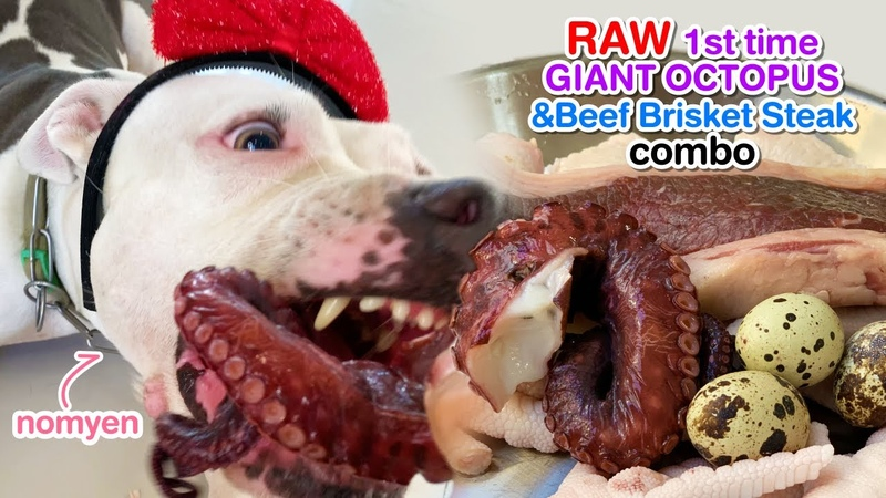 Nomyen 1st time eats GIANT OctopusBeef Brisket Steak combo [ASMR] | B.A.R.F | MUKBANG 犬が生の肉を食べる 4K