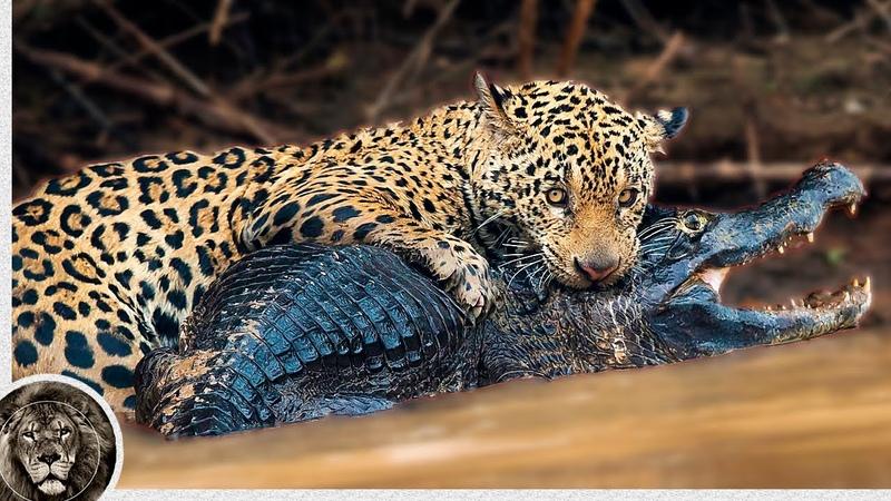 ЯГУАР Опасный Хищник Джунглей Ягуар против Каймана Змеи и Капибары