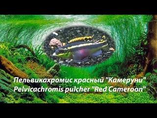 "Пельвикахромис красный ""Камеруни"" / Pelvicachromis pulcher ""Red Cameroon""."