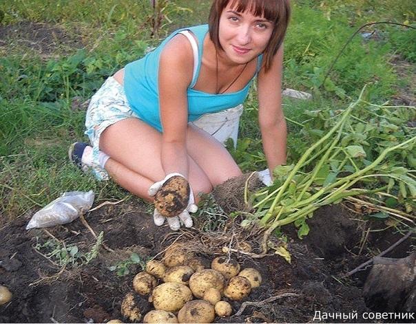 Урожайный картофель