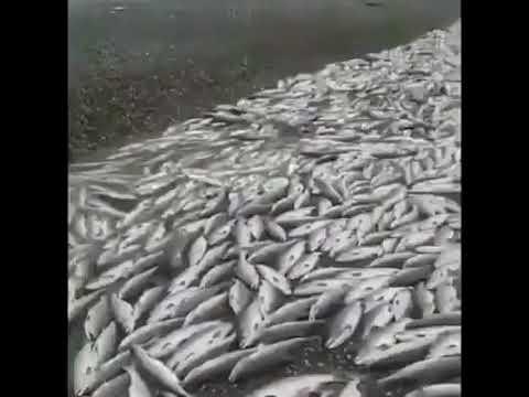 На Камчатке массово уничтожают пойманную красную рыбу