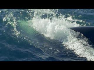 BBC Морские гиганты 1 Жизнь гигантов