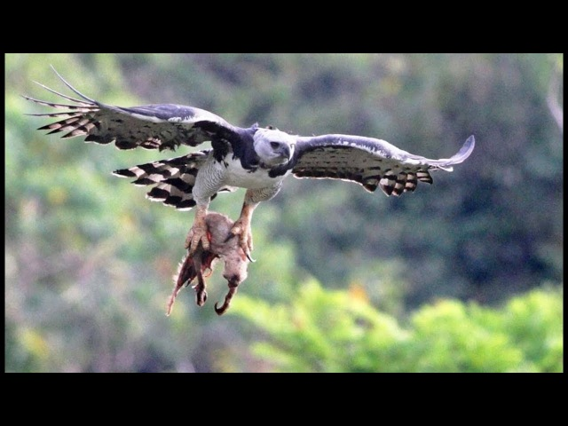 Cet oiseau tue et mange des singes - ZAPPING SAUVAGE