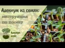 Адениум дома: Как вырастить адениум из семян. Инструкция по посеву.