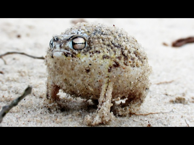 Angry Squeaking Frog Super Cute Animals Preview BBC One