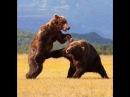 Нешуточные бои животных. Жизнь в дикой природе