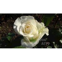Роза чайно гибридная Мондиаль