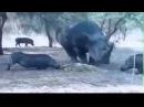 КАК ЛЕТАЛ ДИКИЙ КАБАН! носорог против кабана бои животных