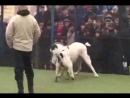 собачьи бои кангал vs алабай ВКонтакте