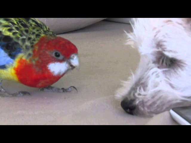 Rosella parrot and westy