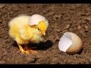 Веселая песенка для малышей Цып Цып мои цыплятки Детский азербайджанский хор