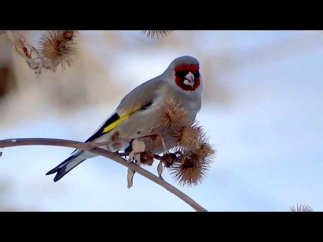 Grey headed Goldfinch Седоголовый щегол Carduelis caniceps