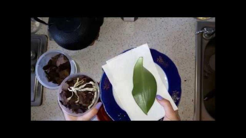Часть 12 Реанимация Орхидея Фаленопсис Посадка корней орхидеи без листьев Что делать дальше