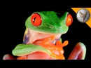 World's Most Famous Frog!