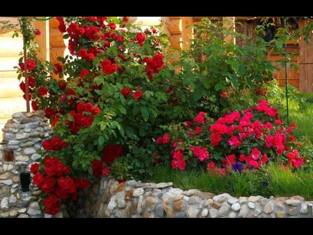 ❀ Плетистые розы сорта и варианты оформления кустов
