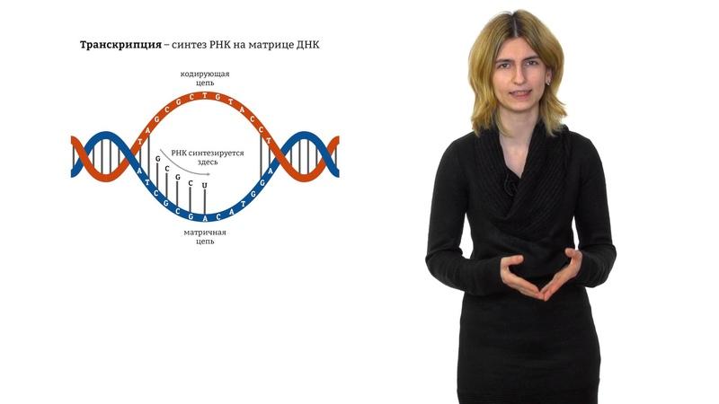 1.3. Репликация ДНК РНК и транскрипция