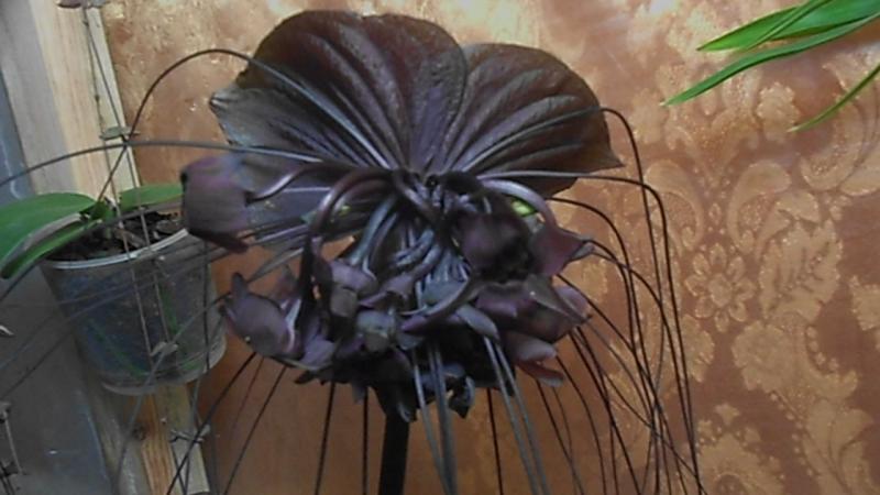 Глориус Такка Домашнее цветение