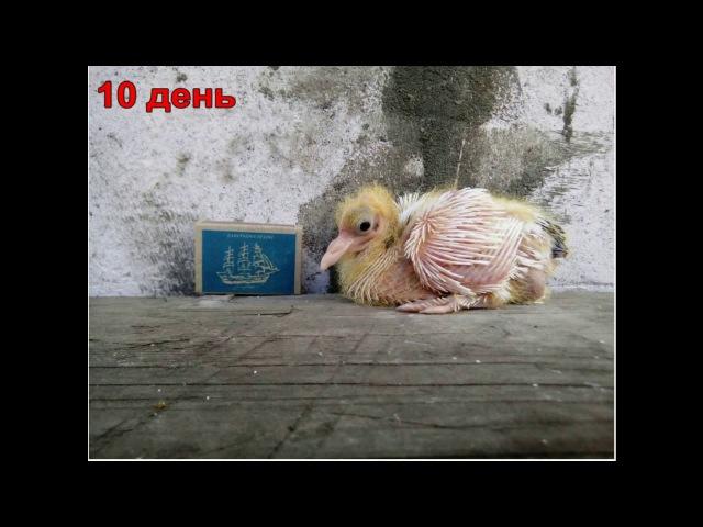 Как растут птенцы голубей от 1 до 32 дня фото видео в двухмесячном возрасте
