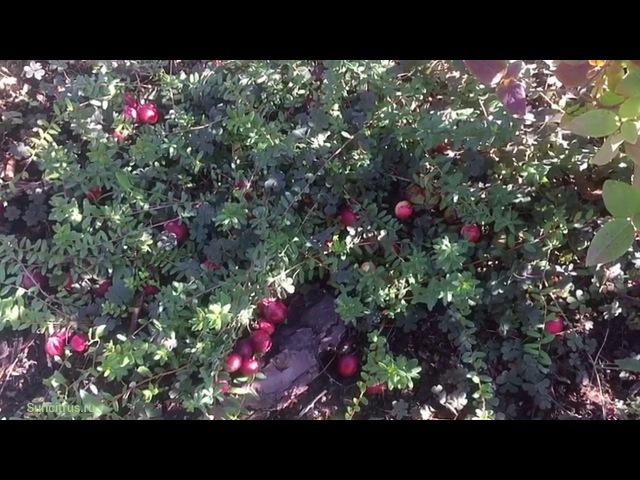 Клюква садовая крупноплодная в саду, Краснодарский край