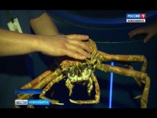 В Новосибирском океанариуме несколько дней спасали огромного линяющего краба