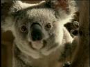 Dont Blame the Koalas e20 Коалы не виноваты