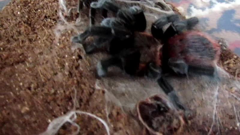 Ваганыч(brachypelma vagans) - Л11