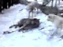 Волк в капкане против 5 собак - A wolf in a trap against the 5 dogs.