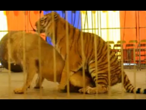 Who is the real king of the jungle Male tiger rape male lion!!!