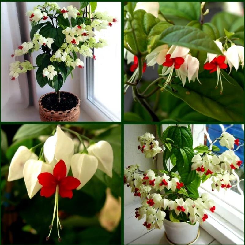 Красивейший комнатный цветок, который цветет почти круглый год, изображение №1
