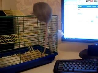 Как мама крысят собирала (ВоК)
