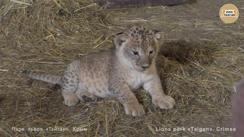 Челябинская львица Лола и малыши :) Тайган   Chelyabinsk lioness Lola and cubs :) Taigan.