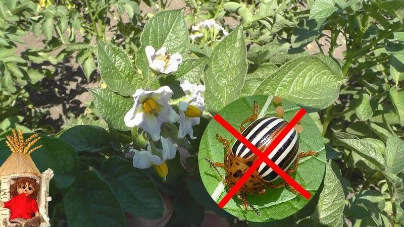 Жука не будет! Средство от колорадского жука на картошке. Профилактика