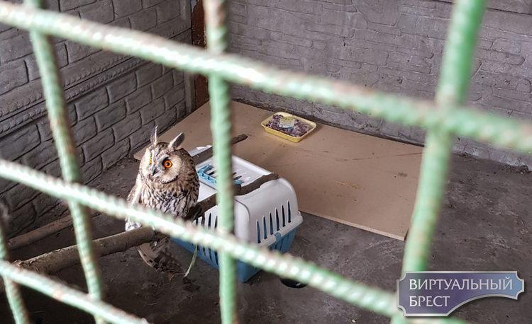 """Как спасали совёнка, который """"попался"""" в сетку (спойлер - пришлось везти в клинику)"""