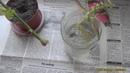 Укоренение черенка розы народным способом!Легко!