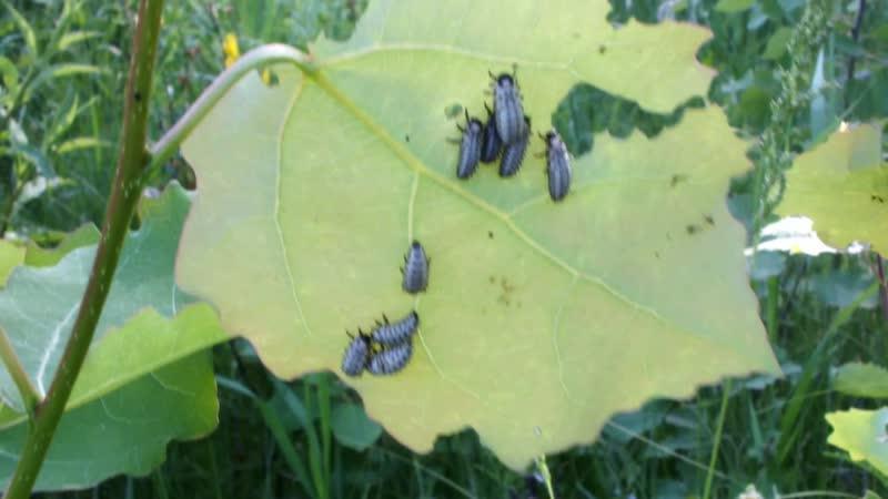 Быть вредителем не сладко Личинки тополевого листоеда