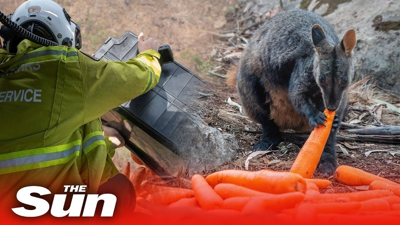Helicopters drop food for starving koalas, wallabies, and kangaroos after Australian bushfires
