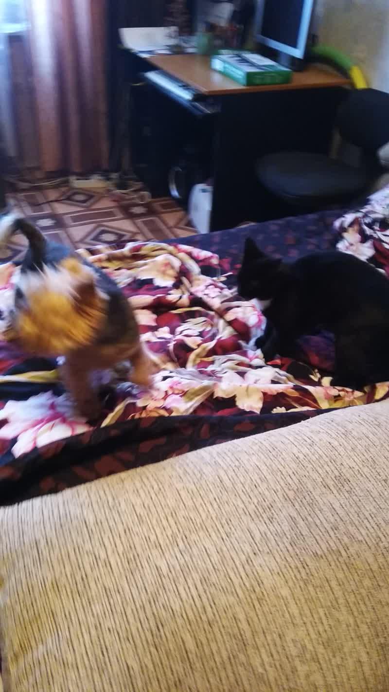 Кошка и Йорк играются)))