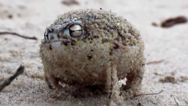 Death Metal Rain Frog