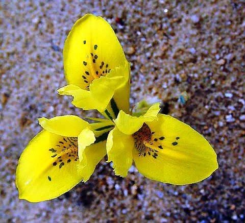 Иридодиктиум Яркие ранневесенние луковичные растения иридодиктиумы относительно редко выращиваются нашими любителями и профессионалами. В природных условиях произрастают на горных склонах