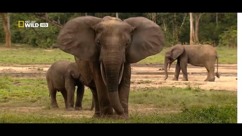 Конго река чудовищ Дикая природа Центральной Африки NAT GEO BBC