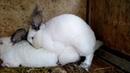 кролики спариваются rabbits are mated