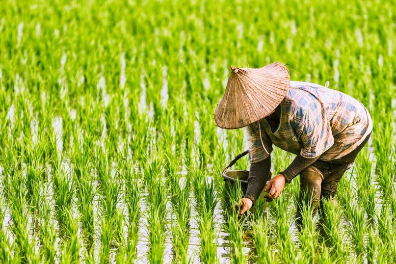 ГМО-сорт «золотой рис» одобрили для питания, изображение №1