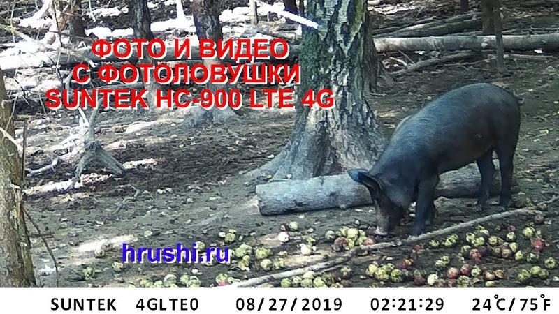 Фото и видео кабанов с новой фотоловушки Suntek HC 900 4G LTE ФИЛИН MMS 4G JET