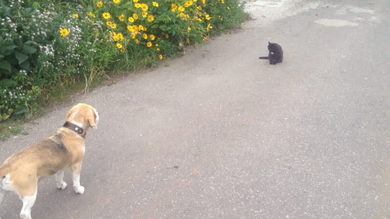 Бигль и кошка (друзья)